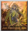 Dankomatics Triangle Glue #4 Fem 5 Ganja Seeds
